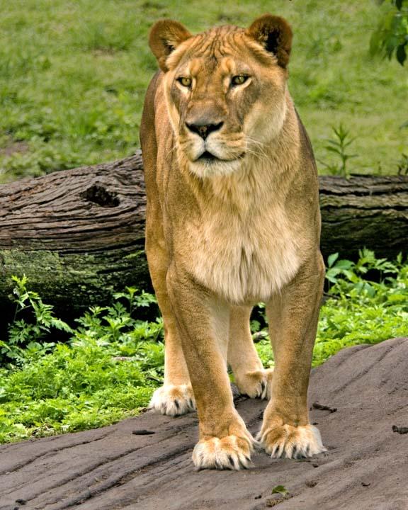 Lion356.jpg