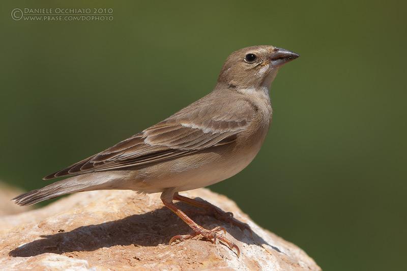 Pale Rock Sparrow (Carpospiza brachydactyla)