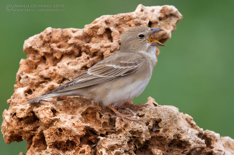 Pale Rock Sparrow (Carpospiza brachydactyla)