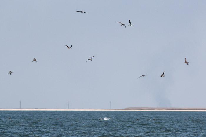 Feeding Northern Gannets