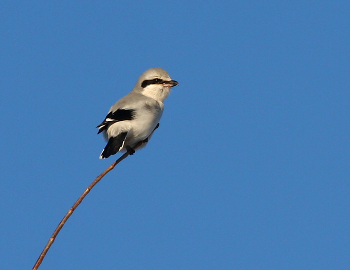Northern Shrike 5397