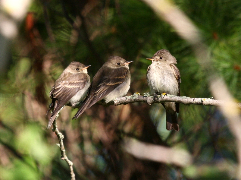 Eastern Wood-Pewee 2465