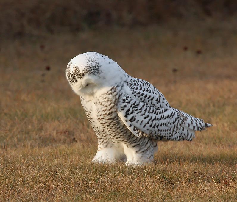 Snowy Owl 2415