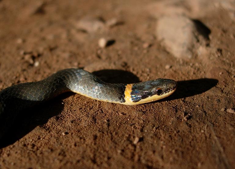 Northern Ringneck Snake
