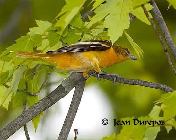 DSC_1040-ec.jpg  Baltimore Oriole - breeding female