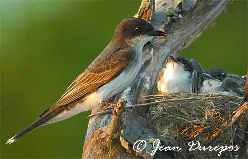 Eastern Kingbird female with her  four chicks