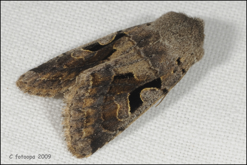 fotoopa D301866 Orthosia gothica
