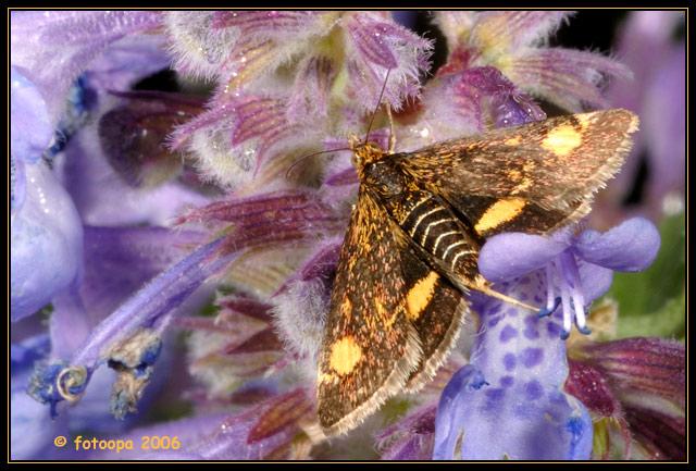 Pyrausta sp - Muntvlindertje