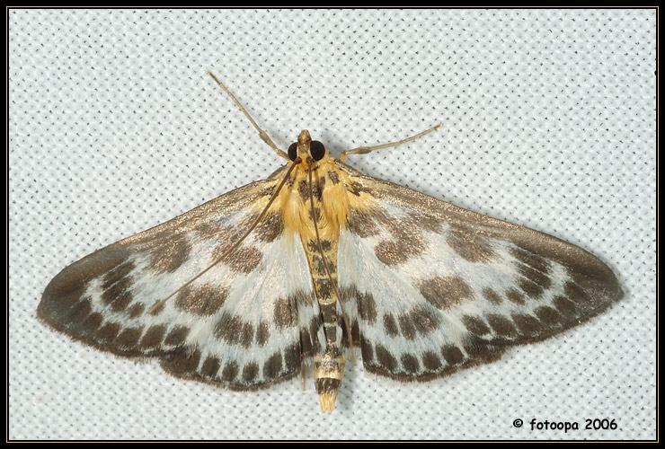 Eurrhypara hortulata - Brandnetelmot.