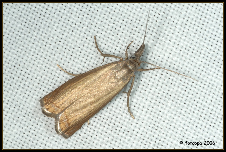 Chrysoteuchia culmella.