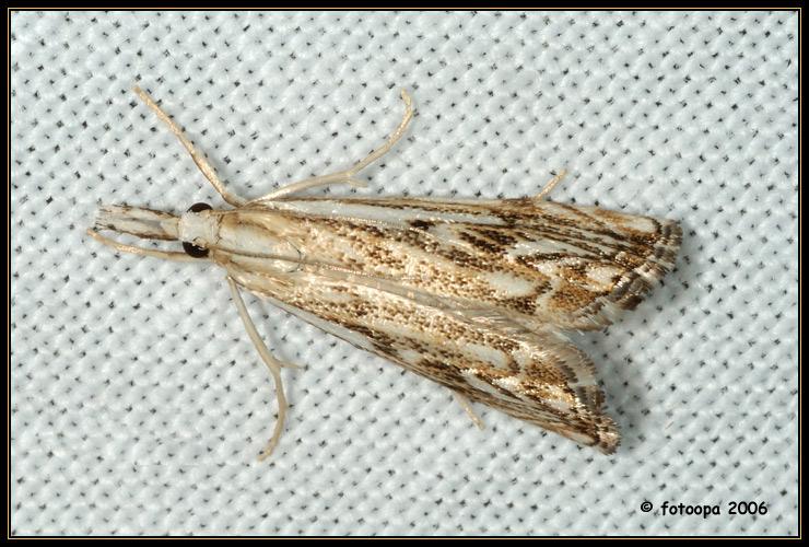 Catoptria falsella.