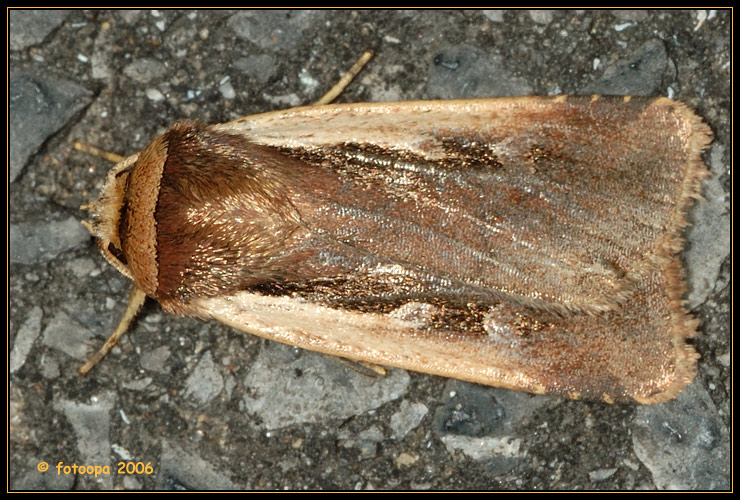 Ochropleura plecta - haarbos