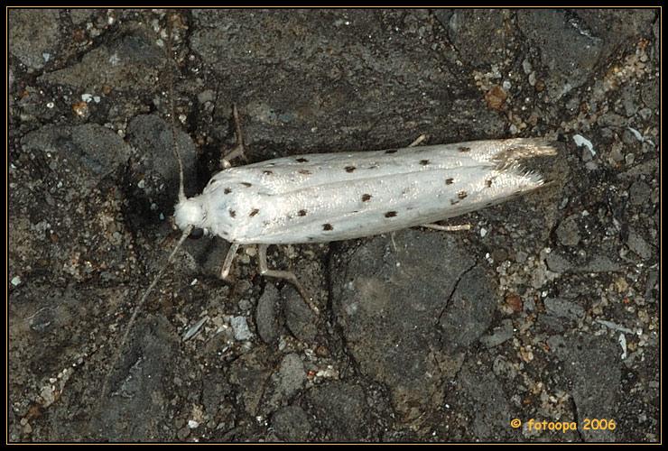Yponomeuta spec. (padella/malinellus)