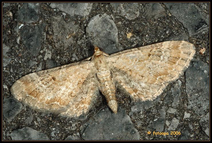 Eupithecia simpliciata - meldedwergspanner