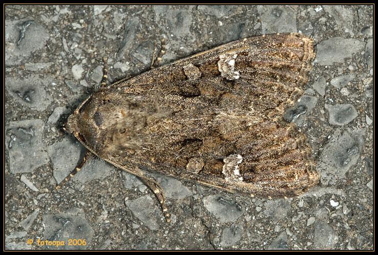 Mamestra brassicae - kooluil