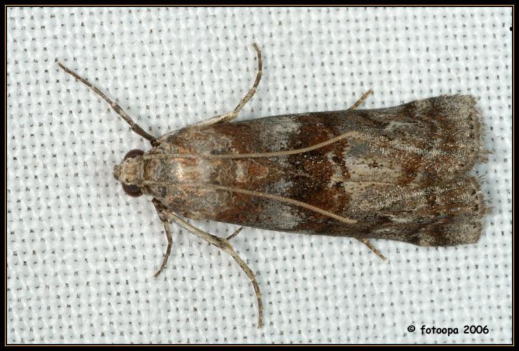 Phycita roborella (Pyralidae).