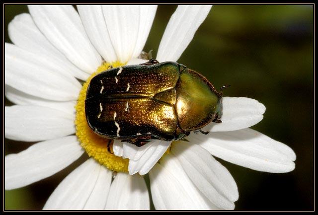 Cetonia aurata - Gouden tor