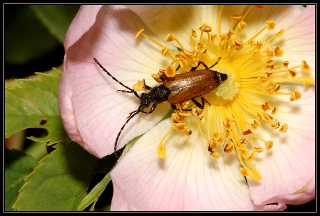 Corymbia maculicornis (Cerambycidae)