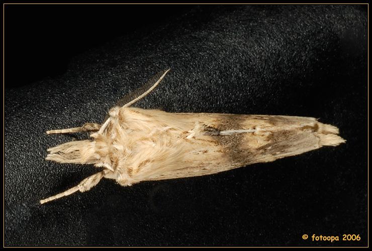 Pterostoma palpina - snuitvlinder