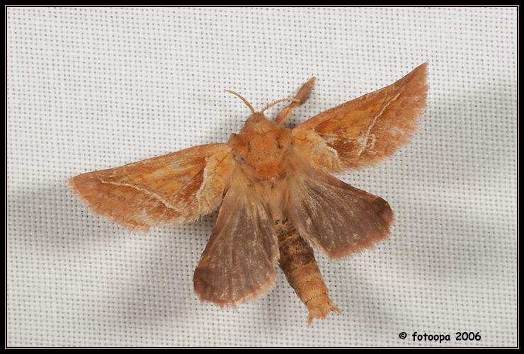 Triodia sylvina - oranje wortelboorder