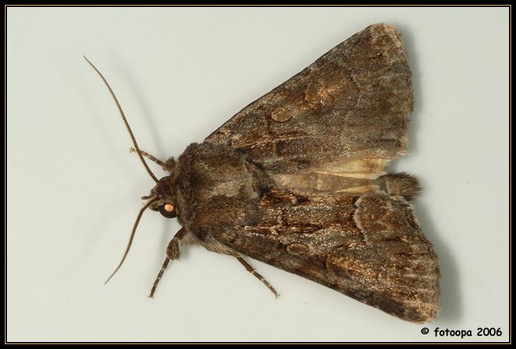Thalpophila matura - geelvleugeluil