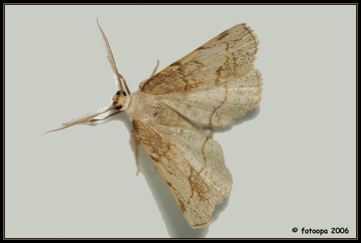 Stegania trimaculata - Drievlekspanner