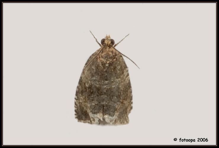 Celypha lacunana (Tortricidae)