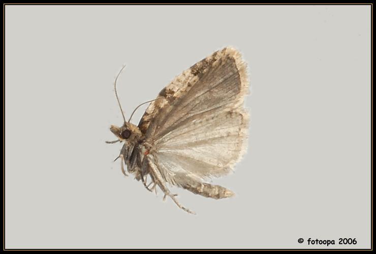 Clepsis spectrana.