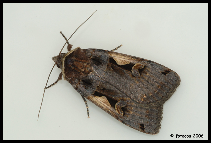 Xestia c-nigrum - zwarte-c-uil