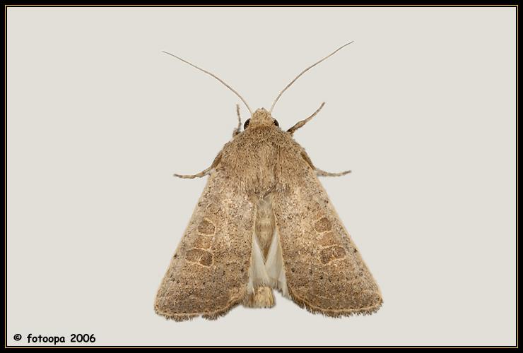Hoplodrina ambigua - zuidelijke stofuil