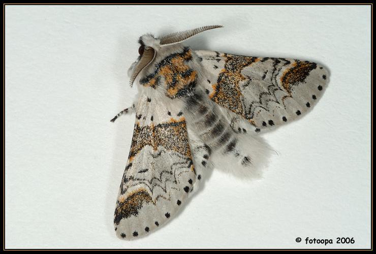 Furcula furcula - kleine hermelijnvlinder