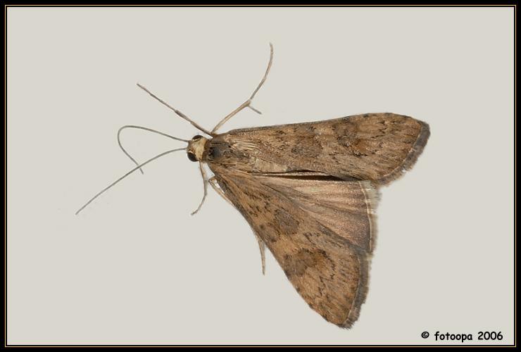 Nomophila noctuella.