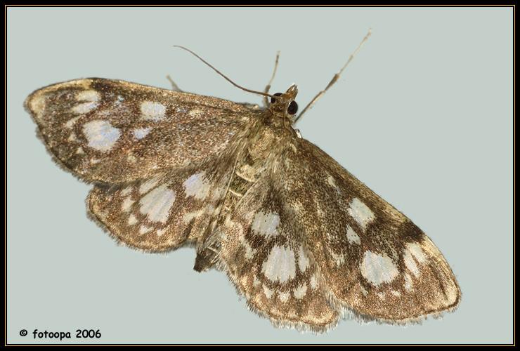 Phlyctaentia coronata (Crambidae).