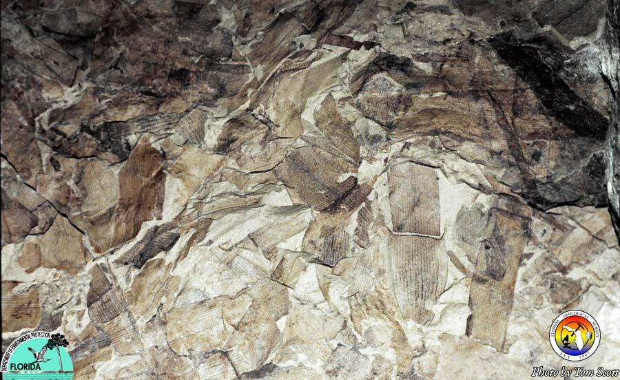 Avon Park fossil sea grass from Gulf Hammock.jpg