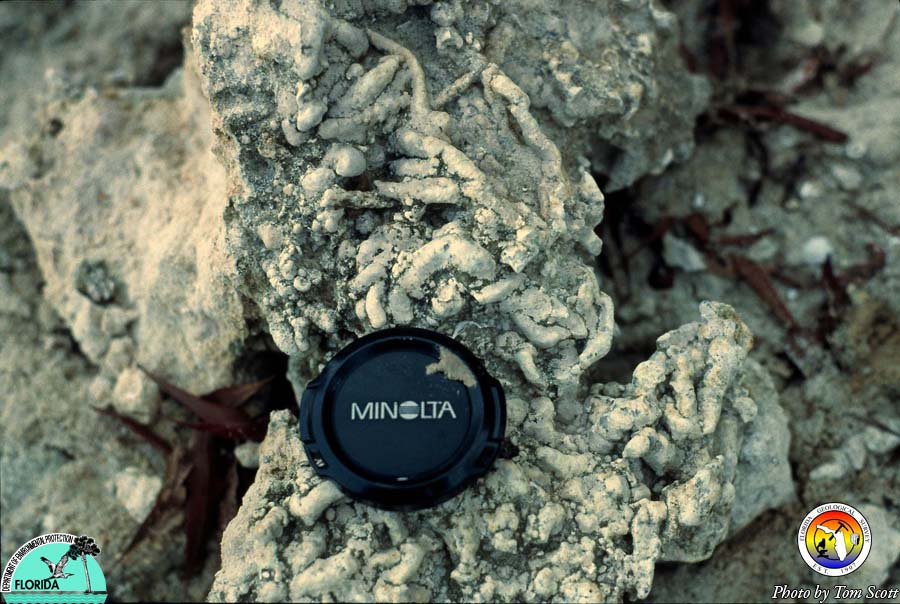 Alum Bluff burrows in Chipola Fm.jpg