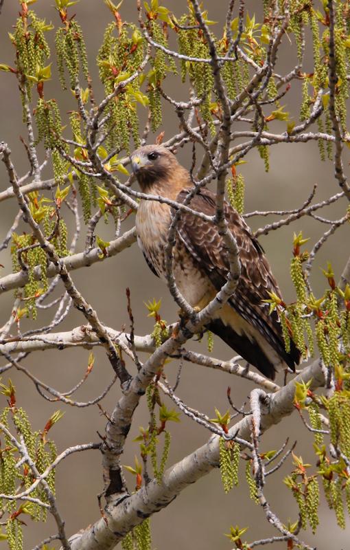Redtail Hawk-0771