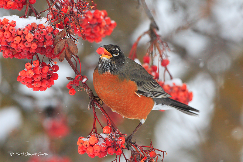 Robin with Mtn Ash Berry 3395