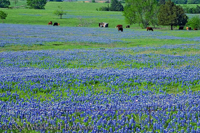 Cows in Bluebonnet Valley