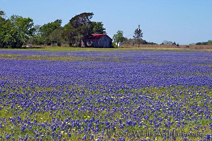 Stryk Road Bluebonnet Field