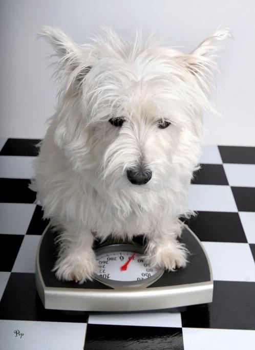 March 2, 2006 - Overweight Westie?