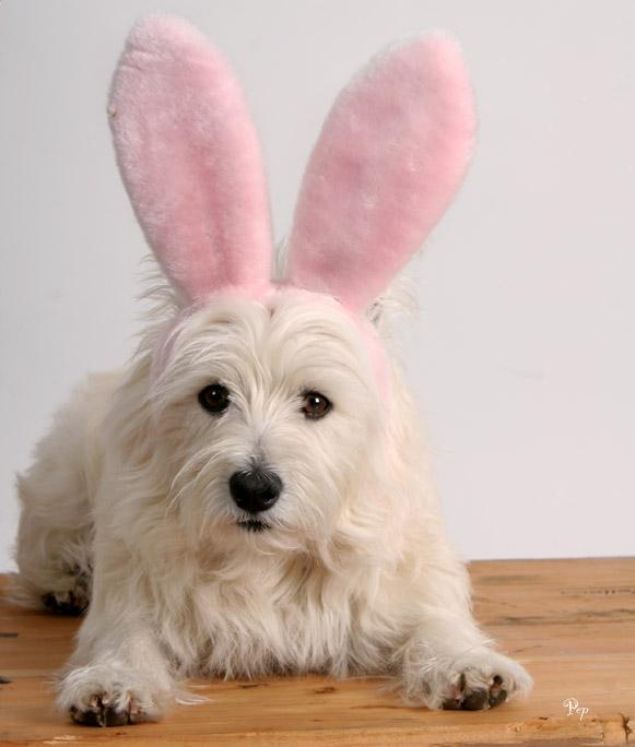 Westie-Rabbit