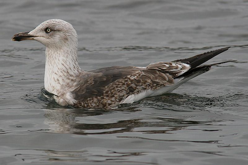 Lesser Black-backed Gull - 2nd summer