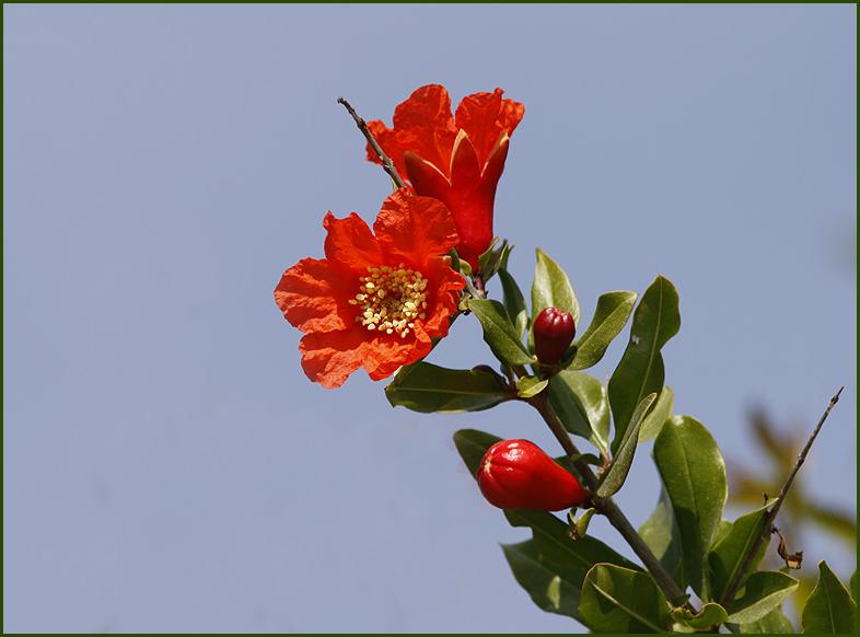 Wild Pomegranate, Granatäpple   (Punica granatum).jpg