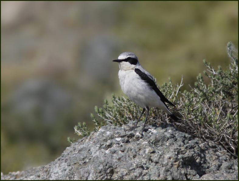 Eastern Black-eared Wheatear, Medelhavsstenskvätta, white-throated variety   (Oenanthe hispanica melanoleuca).jpg