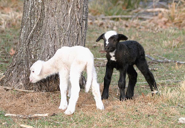 Border Collie lamb