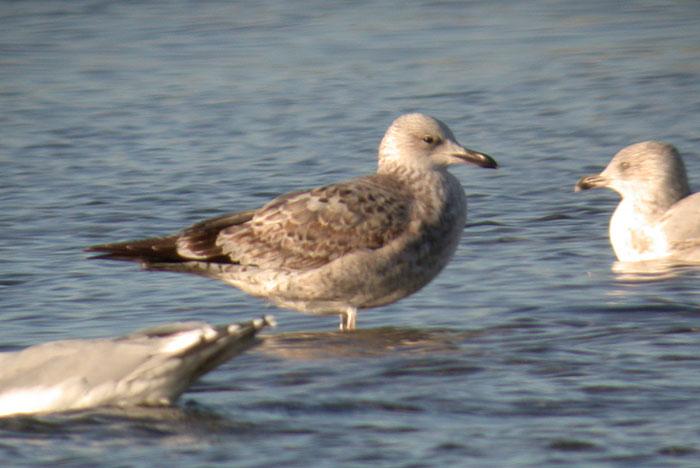 Caspian Gull / Kaspisk trut (Larus cachinnans)