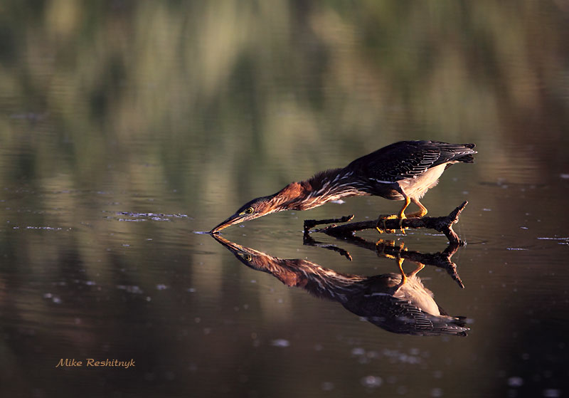 Dawn Delight - Green Heron