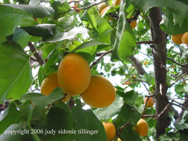 apricot season