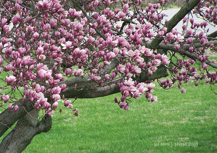 How to Plant Tulip Bulbs: 8 Steps (with Pictures) - wikiHow Tulip tree blossoms pictures