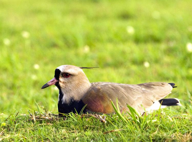 Lapwing on Nest